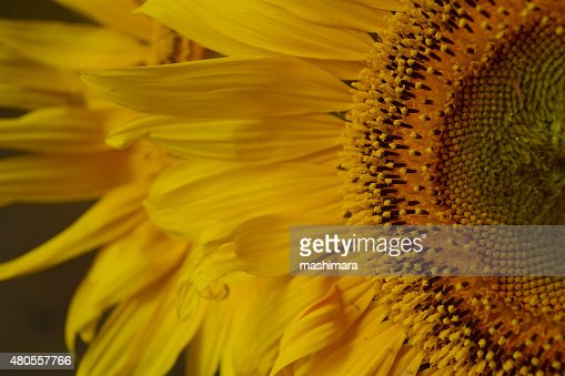 Sunflower petals : Stock Photo