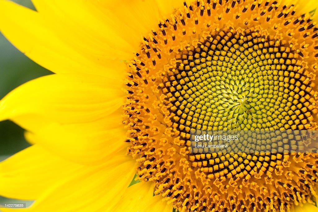 Sunflower (Helianthus annuus) : Stock Photo