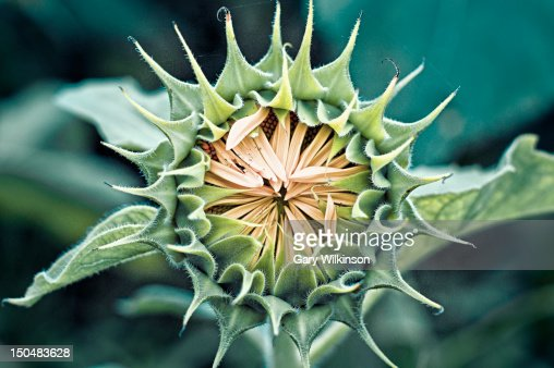 Sunflower : Stock Photo