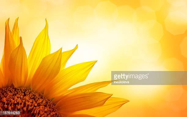 - Sonnenblume