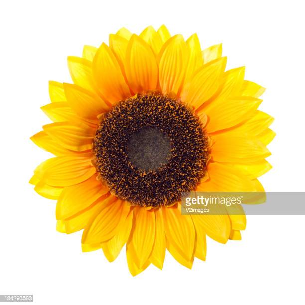 Sonnenblume (With Clipping Path