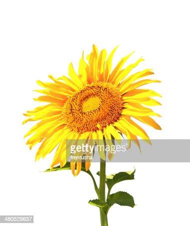 - Sonnenblume : Stock-Foto