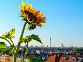 Sunflower plant with cityscape in background