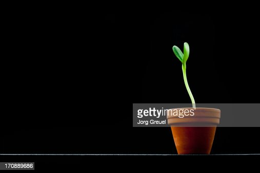 Sunflower seedling in a pot