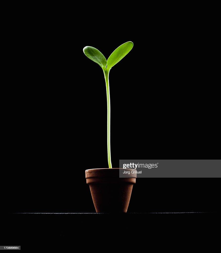 Sunflower seedling in pot