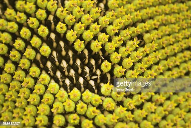 Sunflower seeds in bloom