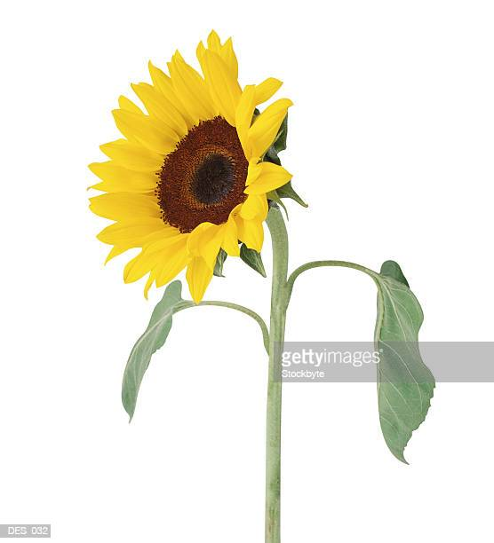 Sunflower, side view