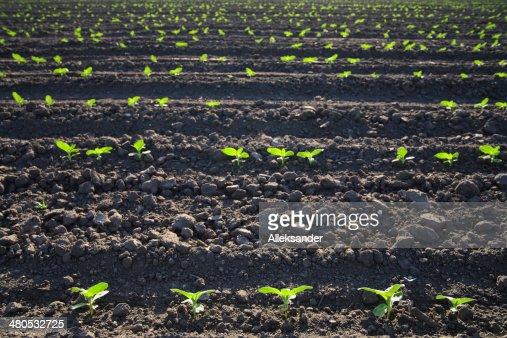 Sonnenblume sprouts : Stock-Foto