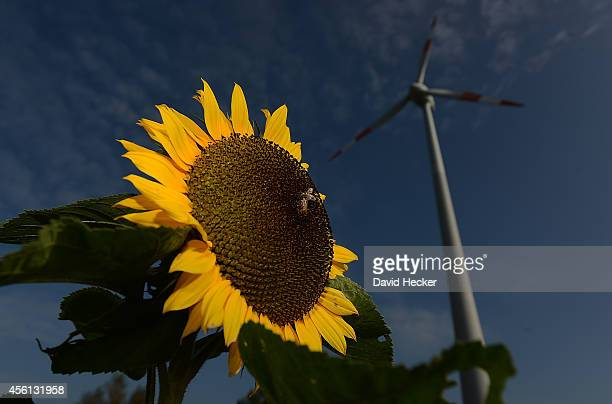 A sunflower stands next to a wind energy field on September 23 2014 near Twist Germany Germany produces approximately three million tons of petroleum...