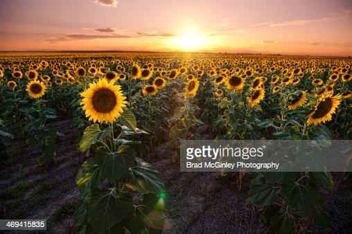 Sunflower sunset : Stock Photo