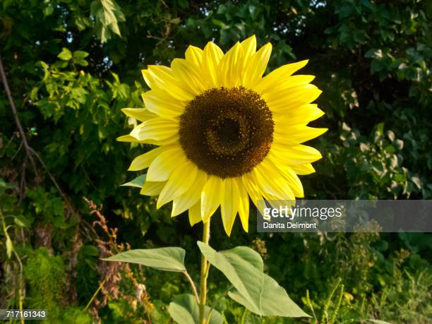 Sunflower (Helianthus) with bushes in background, Mendota Heights, Minnesota, USA