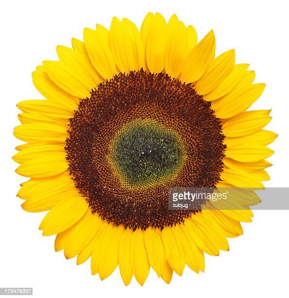 Sonnenblume XXXL Mit clipping path