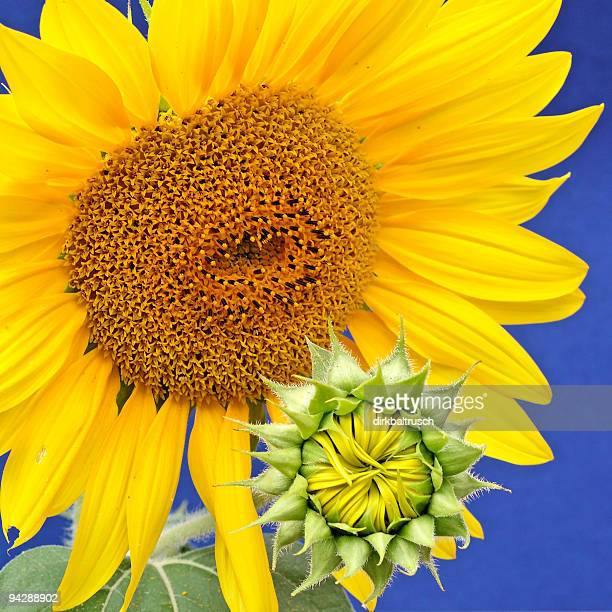 sunflower-mother with baby