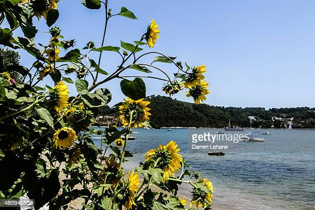 Sunflowers & Aegean Sea