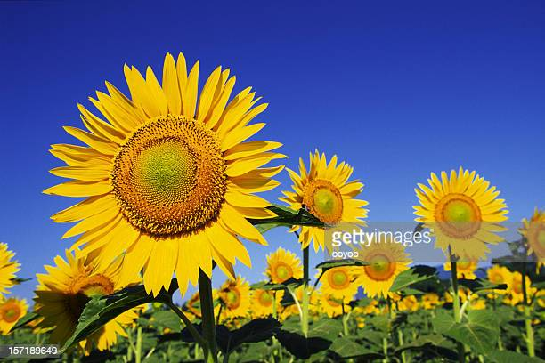 Sunflowers contra o céu azul