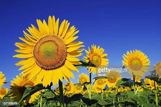 Sonnenblumen gegen den blauen Himmel