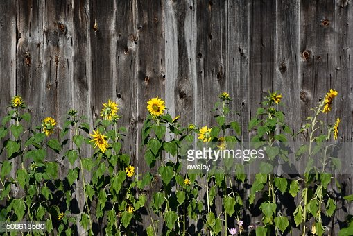 Sunflowers and Barn : Stock Photo
