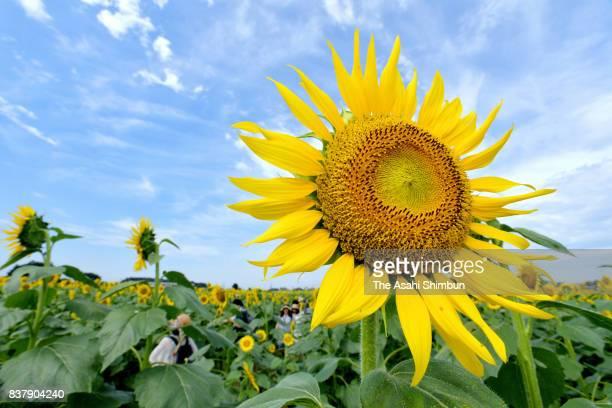 Sunflowers are in full bloom at Kiyoshi Sunflower Festival on August 22 2017 in Kiyose Tokyo Japan