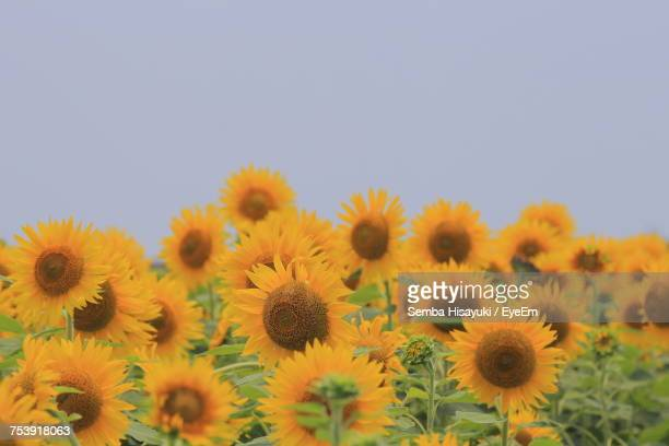 Sunflowers Blooming Against Clear Sky