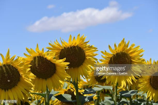 Sunflowers Blooming Against Sky
