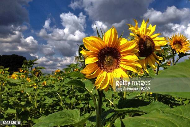 Sunflowers blooming in the garden