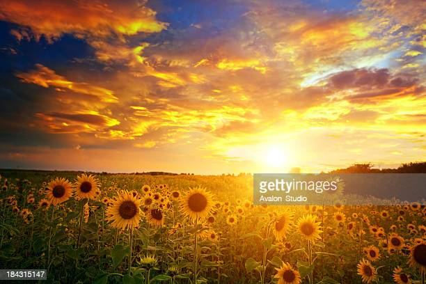 Sunflowers field and sunset sky