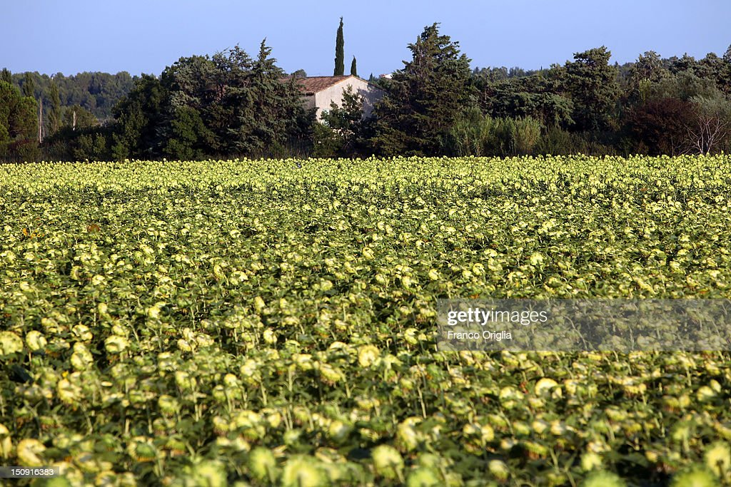 A sunflowers field in the suburban area of Arles on August 11, 2012 in Arles, France. Arles is a city in the south of France in the Mouths of the Rhone. The city has a long history, and was of considerable importance in the Roman province of Gallia. The Roman Monuments of the city were listed as UNESCO World Heritage in 1981. The Dutch painter Vincent van Gogh lived in Arles in 1888-1889 and produced over 300 paintings and drawings during his time there.