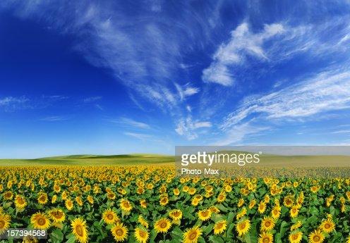 Sunflowers field (XXXL size)