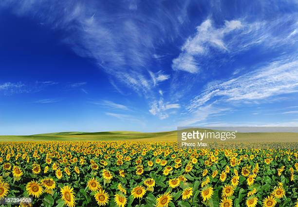 Sunflowers field (XXXL size)