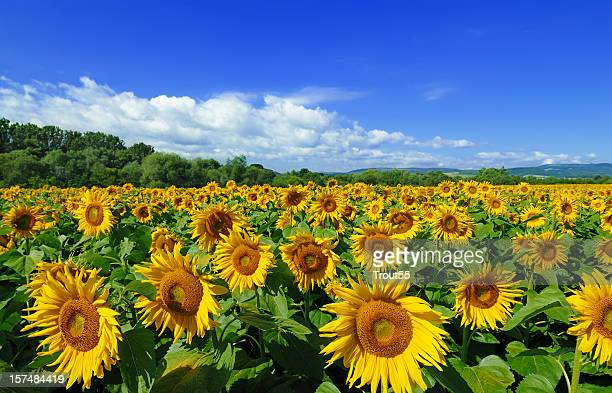 Sunflowers field, the blue sky and white clouds
