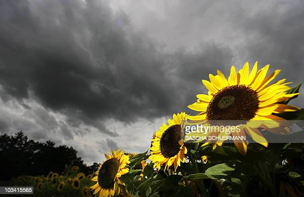 Sunflowers glow as the dark rain clouds pass by in a field near the southern German town of Garching 12 July 2007Meteorologists forecast cold and...
