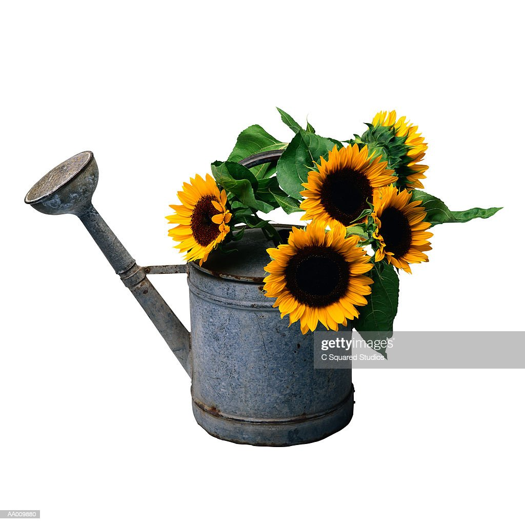 sunflowers in a watering can stock photo getty images