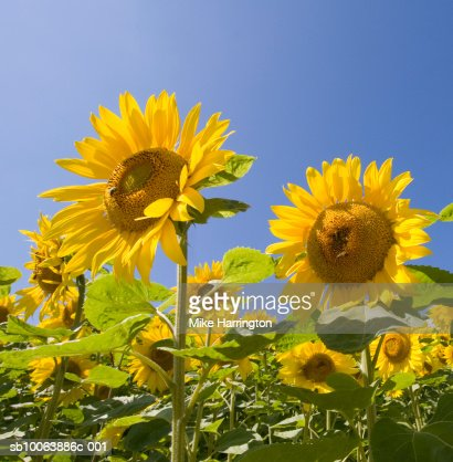 Sunflowers in field : Foto stock