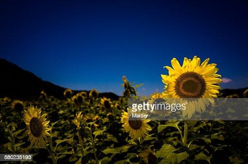 Sunflowers in full bloom