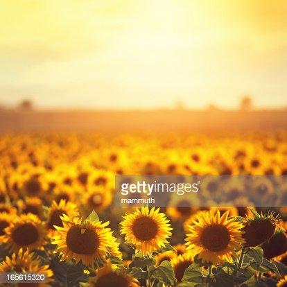 sunflowers em Provence