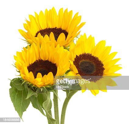 Sunflowers isolated Isolated on White Background
