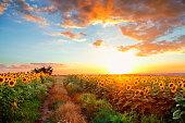 Sunset field landscape.