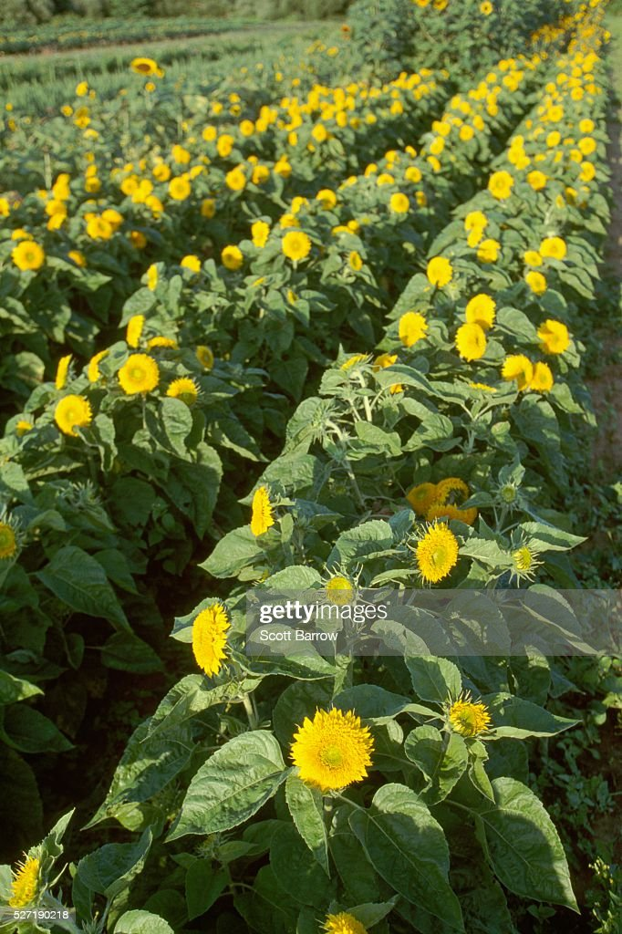Sunflowers : Stock-Foto