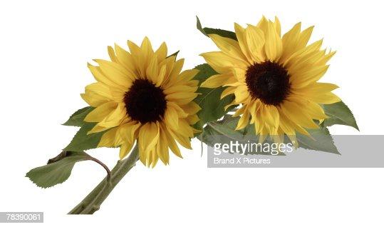 Sunflowers : Stock Photo