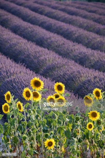 Sunflowewrs and a lavender field in Valensole, Provence, France