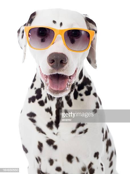 Sunglasses on o a Dalmatian