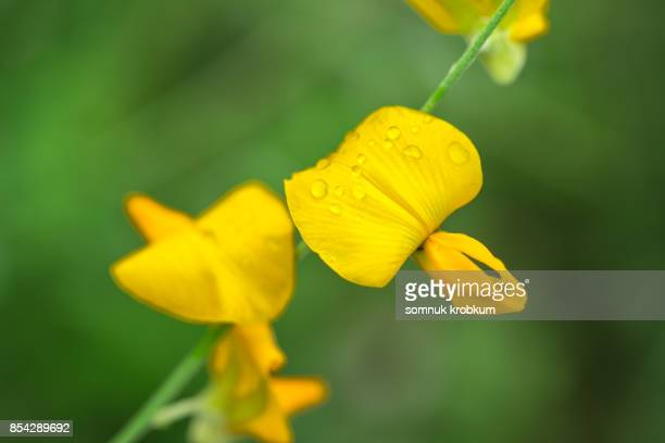 Sunhemp flower with raindrops
