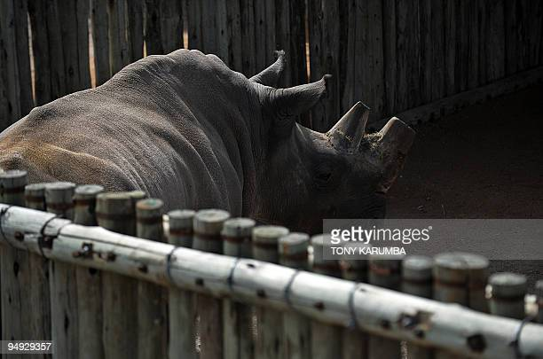 Suni a male rhino one of four extremely endangered Northern White Rhinoceros that were shipped to Kenya from the Czech Republic checks his pen at the...