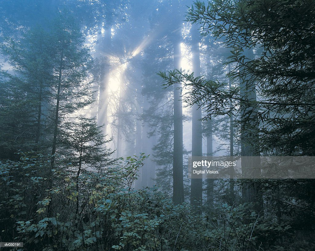 Sunlight and trees, Redwoods National Park, California, USA
