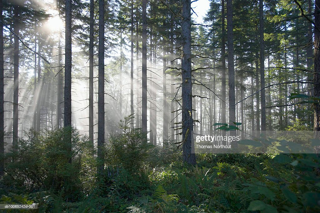 Sunlight breaking through misty forest : Stock Photo