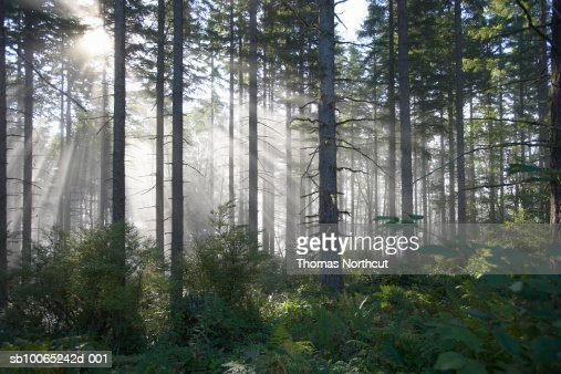 Sunlight breaking through misty forest : Foto de stock