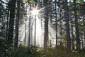 Sunlight breaking through trees in forest (lens flare)