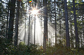 Sunlight breaking through trees in forest (lens flare)