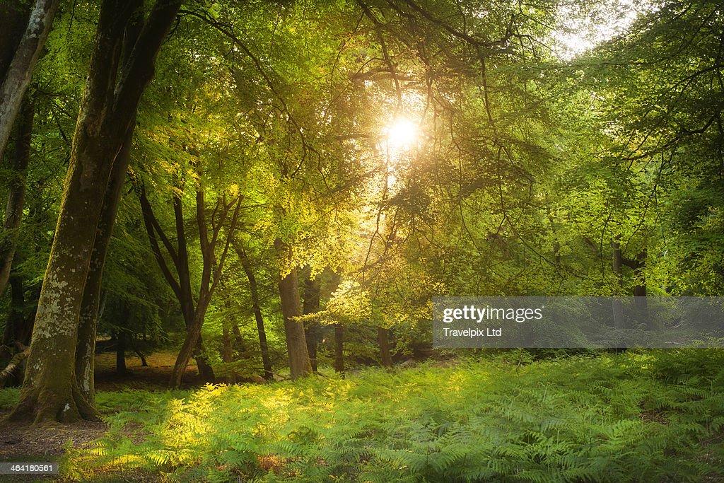 Sunlight bursting through forest canopy