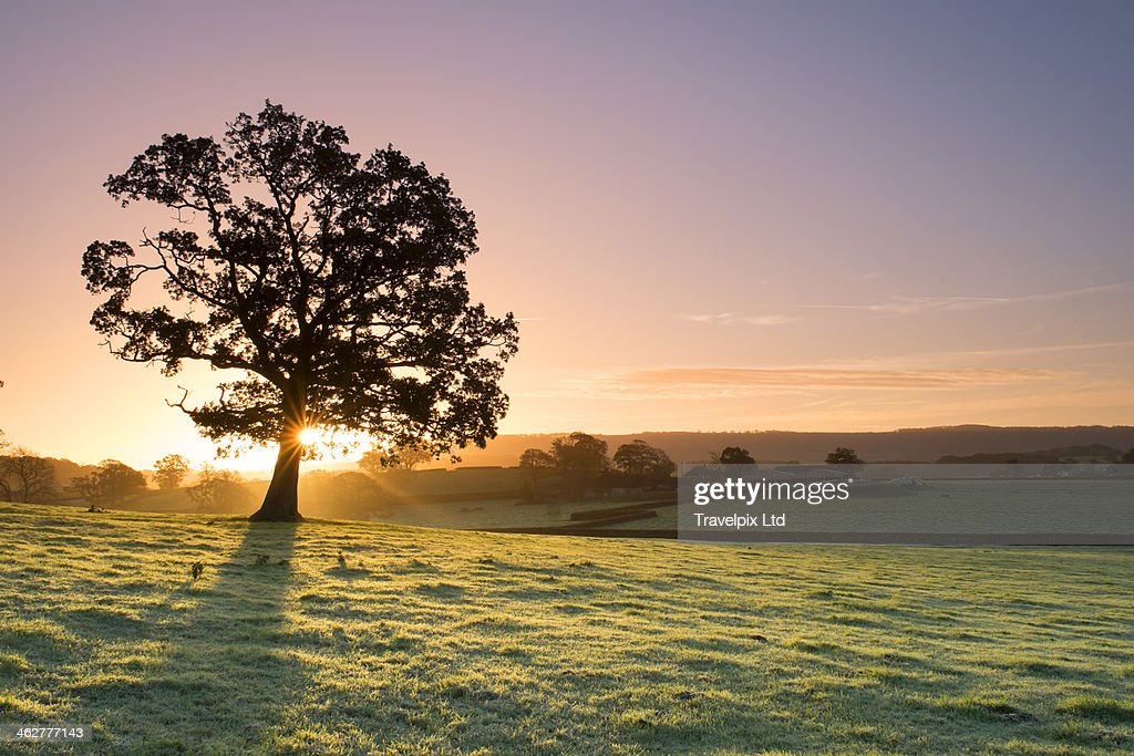 Sunlight bursting through oak tree at dawn